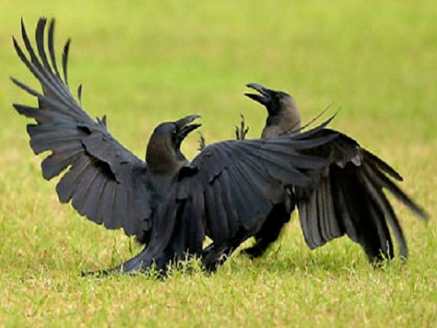 Crows fight in the field during the third day of the first cricket te