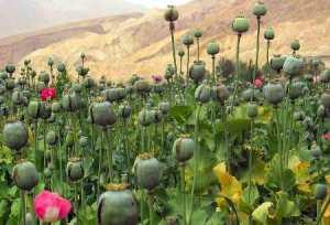 Plantación-de-opio-en-Afghanistán-