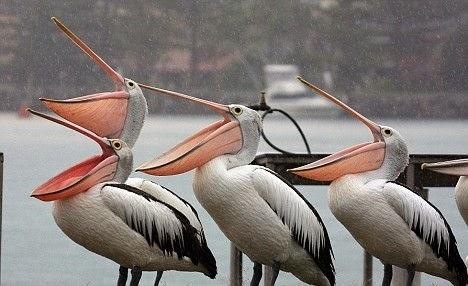 pelicanos_lluvia_01