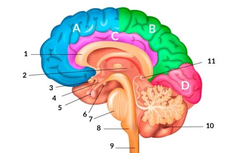imagen-definicion-cerebro-partes-del-cerebro-cognifit