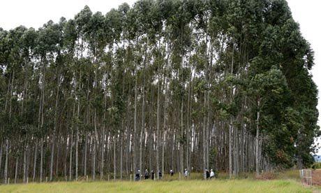 """""""Los olivos, viñas y naranjos se mueren en España, Gm-eucalyptus-trees-008"""