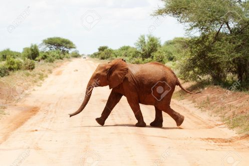 Elephant crossing road