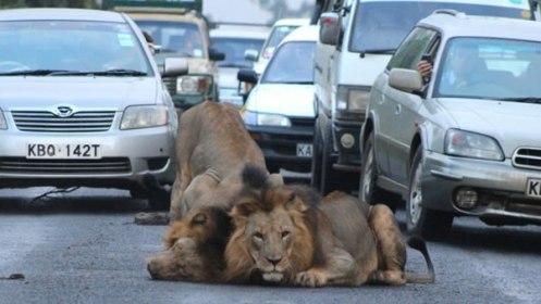 leones-africanos-detienen-trafico-nairobi-kenia-fotos_1_1572576