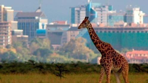 Una-jirafa-en-las-afueras-de-Nairobi-Kenia