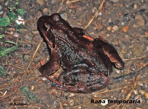 Rana bermeja (Rana temporaria) - foto Rubén Barone3