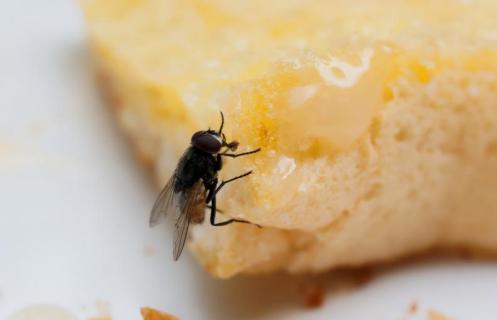 mosca-comida-insecto-2